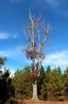 Big oak on thefarm