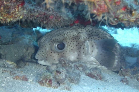 Longspine Porcupinefish under the wing of the Corsair Wreck